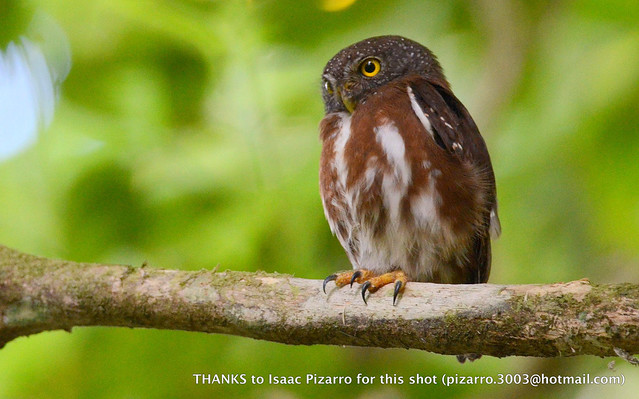 Central American Pygmy Owl - Glaucidium griseiceps 4 - Darien, Panama [pic by Isaac Pizarro]