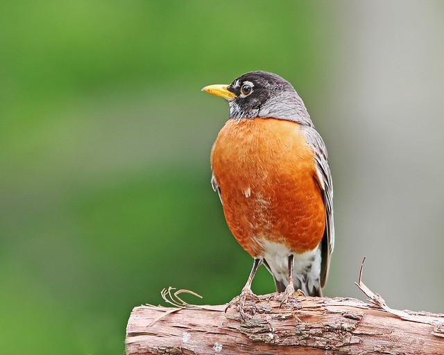 Robin 20d _0775