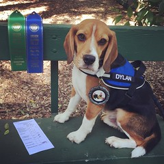 DYLAN DOES IT!! He qualified in Novice A with a 180.5 for his 3rd leg and his CD!! Hurray for the little beagle! I am so proud of him!!