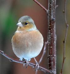 wren(0.0), atlantic canary(0.0), nightingale(0.0), sparrow(0.0), european robin(0.0), bluebird(0.0), brambling(0.0), animal(1.0), branch(1.0), fauna(1.0), finch(1.0), junco(1.0), emberizidae(1.0), beak(1.0), bird(1.0), wildlife(1.0),