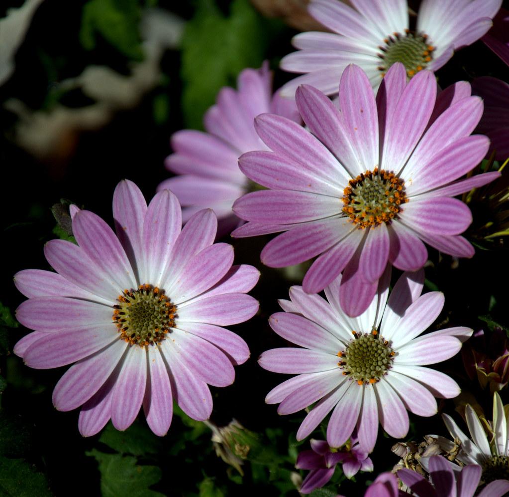 Fiori Lilla.Fiori Lilla Roberto Flickr