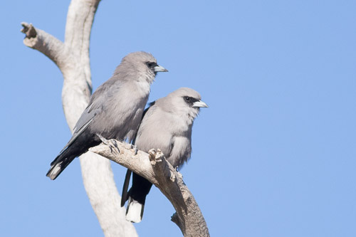Black-faced Woodswallows