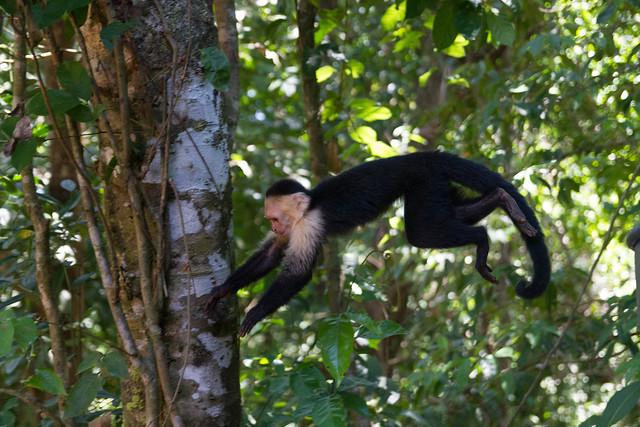 Jumping capuchin monkey