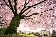 The Old Giant Cherry Blossom Tree in Full Bloom