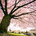 The Old Giant Cherry Blossom Tree in Full Bloom by TOTORORO.RORO