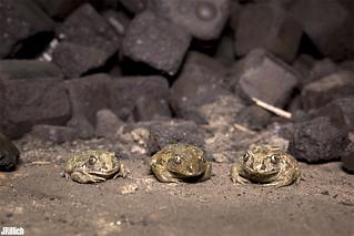 Overwintering - Ghosts in the cellar - Common Spadefoot, Knoblauchkröte, Pelobates fuscus @ Torgau, Zwethau 2015