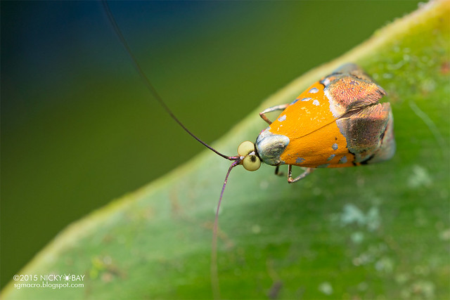 Fairy longhorn moth (Nemophora sp.) - DSC_4105