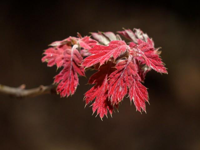 black oak leafing out