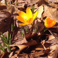 It's here!  Maybe. We had #snow flurries yesterday. #spring #crocus #yellow #letitgo #nomorewinter