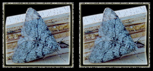 Unidentified Gray Moth 1 - Cross-eye 3D