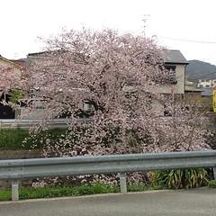 huge sakura tree...earlier🌸 #minoo #osaka #sakura #桜 #箕面 #大阪 #latergram