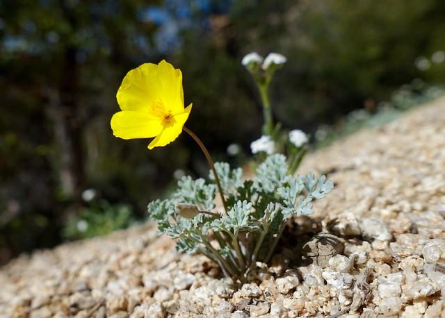 Tiny poppy, m648