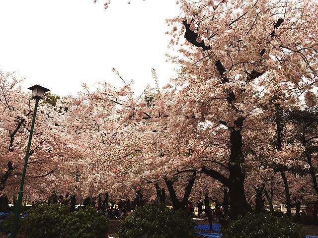 桜 Sakura at 鶴舞公園 (Tsuruma Park)