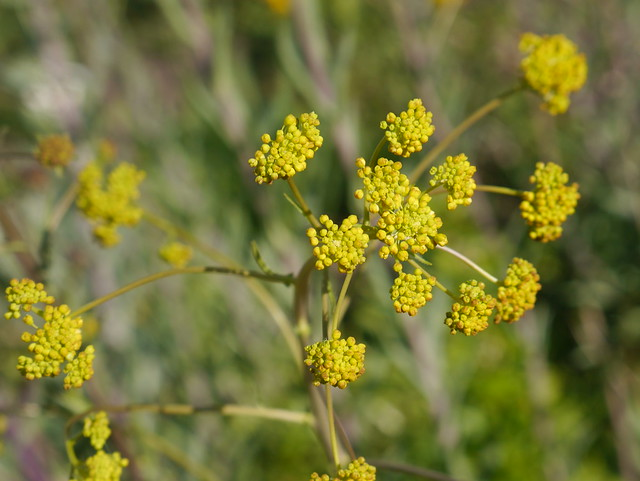 woad flower