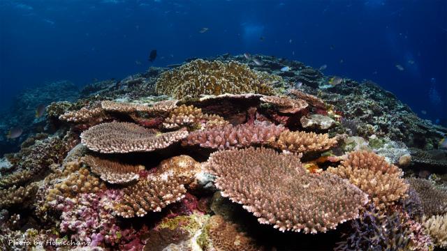 西表島のサンゴ♪
