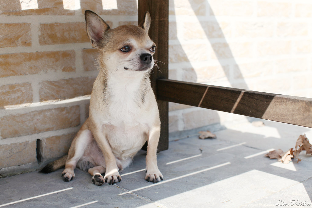 chihuahua tiny dog breed sun bench patio outdoor sitting sit white tan male adult