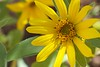 A Small But Beautiful Sunflower