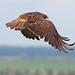 Swainson's Hawk (Buteo swainsoni) by Don Delaney