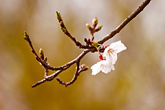 2 Cherry Blossoms depending onto a little branch(작은 가지에 메달린 벚꽃)