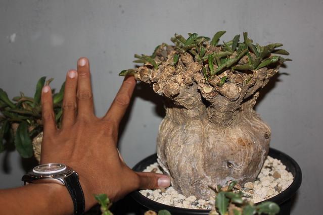 Euphorbia subapoda2