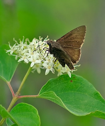 nature butterfly insect texas wildlife lepidoptera decatur lbjgrasslands northerncloudywing