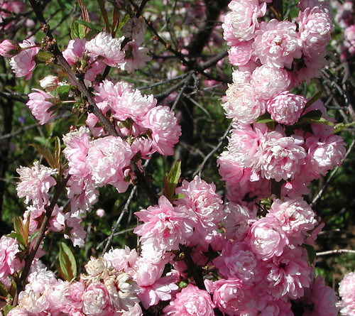 Flowering Almond-Tight