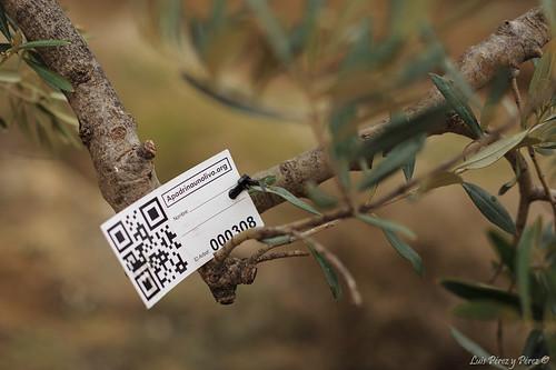 Apadrinar un olivo centenario abandonado... ¿por qué no?