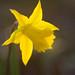 Sunlit Daffodil #2