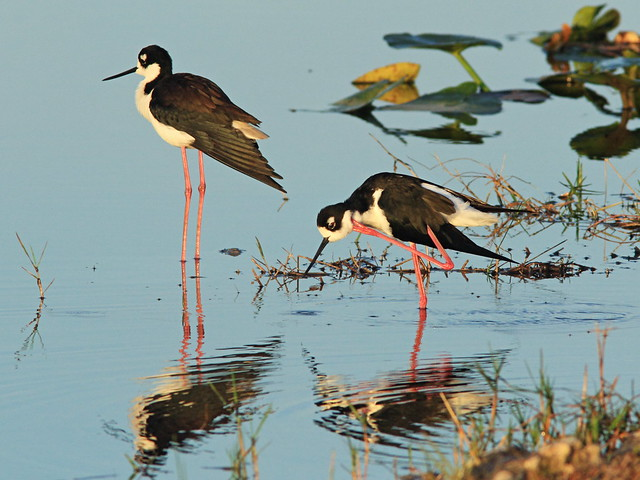 Black-necked Stilts 08-20150315