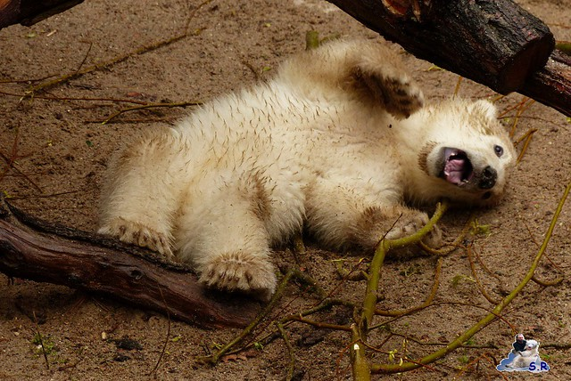 Eisbär Taufe Fiete Zoo Rostock 31.03.21015 128