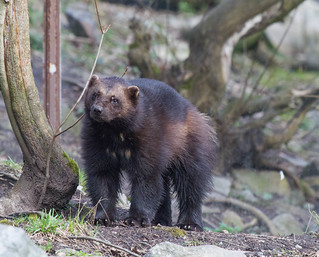 Curious Wolverine
