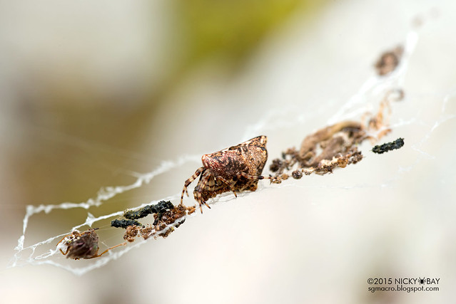 Trashline orb web spider (Cyclosa sp.) - DSC_4938
