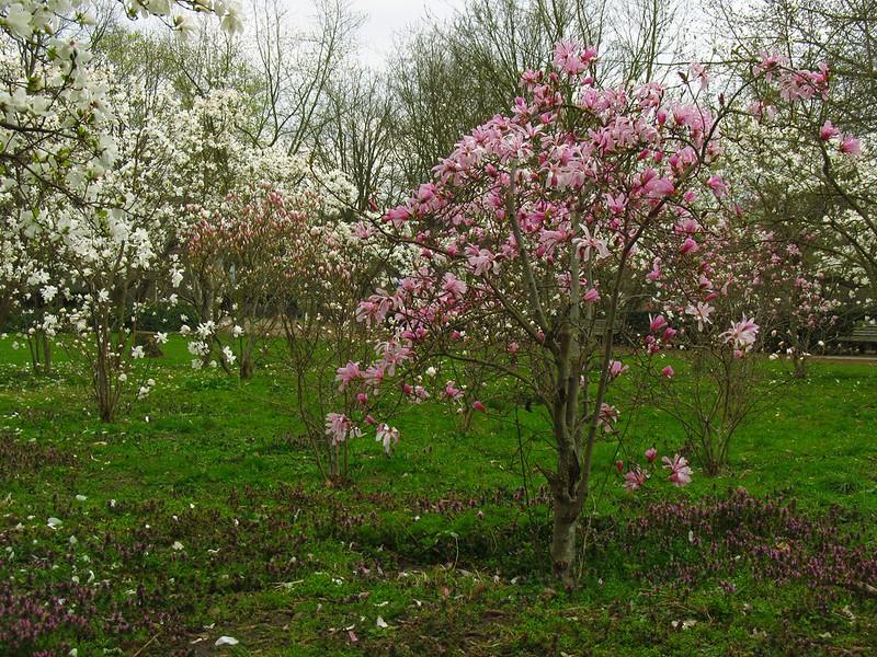 Cerejeiras- AgendaBerlim.com Foto Pacelli Luckwu