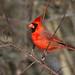 Northern Cardinal by Brenda J Hartley-Foubert