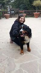 rottweiler(0.0), animal(1.0), dog(1.0), pet(1.0), mammal(1.0), bernese mountain dog(1.0),