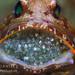 Jawfish 1 by JoeDaniels-Maluku