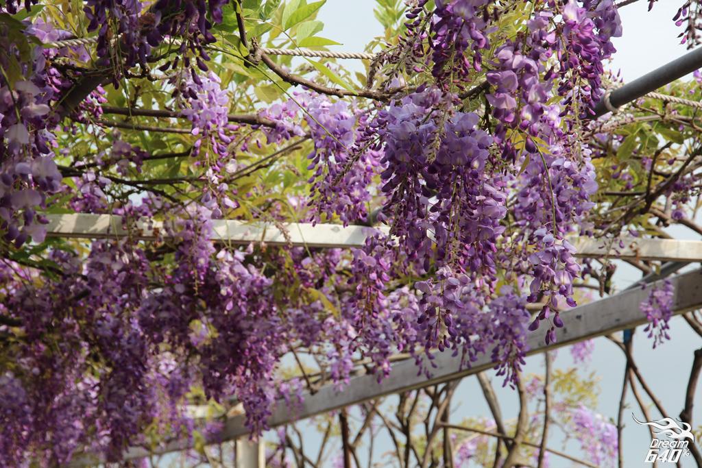 淡水紫藤咖啡園21