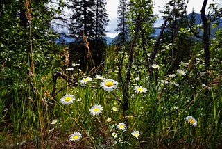 Daisies with a Mountain Backdrop (Banff National Park)
