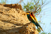 Bee eater mirrored