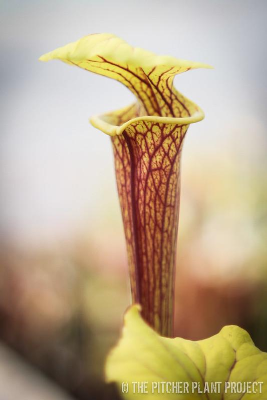 Sarracenia flava var. ornata - Giant Clone