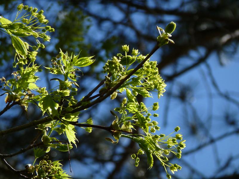 Acer platanoides acero riccio piante magiche for Acero riccio