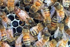 bee queen 2 IMG_1211b