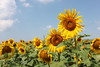 20140724_0256-sunflowers_resize
