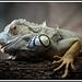 Iguana by Aitor Las Hayas