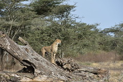 Cheetah in the Ngorongoro Conservation Area (5)
