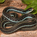 Blue-striped Garter Snake (Thamnophis sirtalis similis) by Jake M. Scott