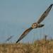 Short-eared Owl by Tris ('Esmeralda')
