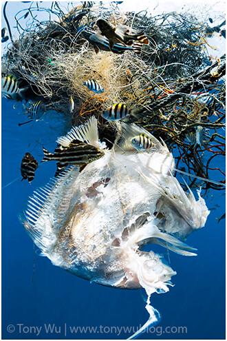 幽靈漁撈是指被丟棄或遺失在海中的廢棄魚網,卻依然持續進行漁撈,造成困網的海洋生物死亡。圖片出處: http://www.tonywublog.com(Image credit: Tony Wu)