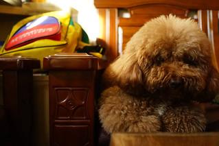 Champagne Poodle 寶寶|Chiayi 嘉義