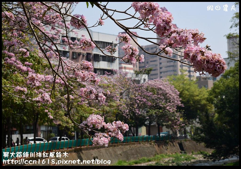 興大路綠川洋紅風鈴木DSC_2305